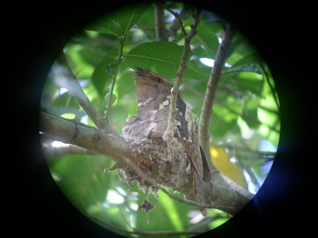 Frogmouth mother and child